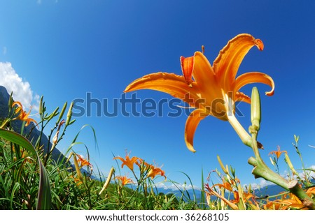 day-lily - stock photo