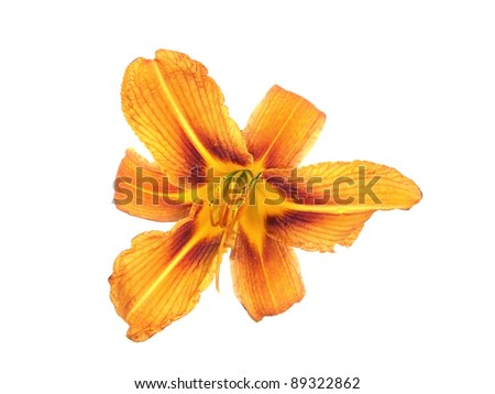 day lily flower on a white background - stock photo