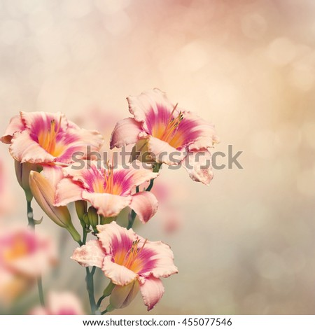 Day-lily flowers blooming in the garden - stock photo