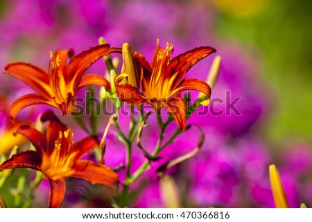day lily in a garden