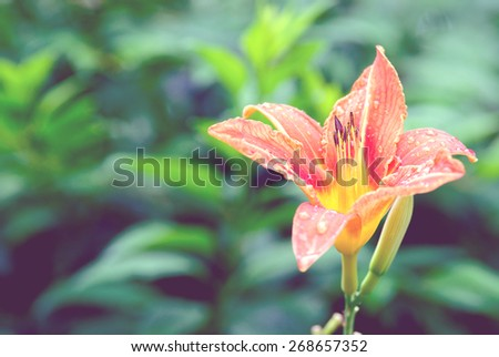 Daylily flower in the garden with blue vintage filter - stock photo