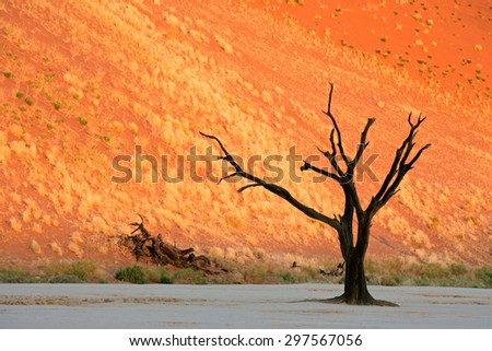 Dead Acacia tree against a red sand dune in late afternoon light, Sossusvlei, Namibia - stock photo