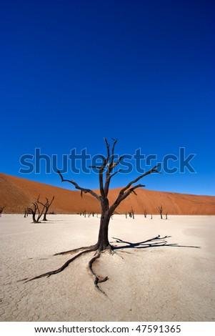 Dead Acacia Tree, Namib Desert, Namibia - stock photo