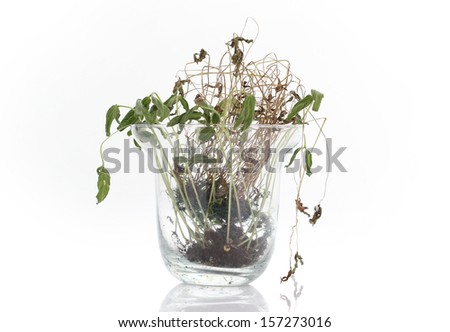 dead and alive plant in pot isolated on white background - stock photo