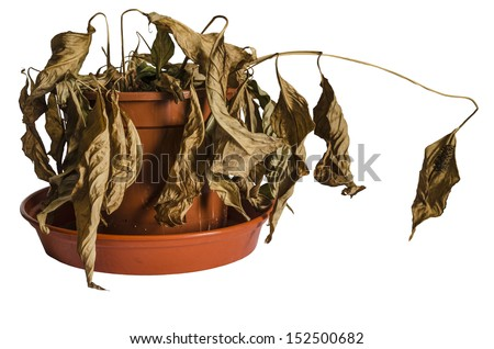 Dead and Shriveled Spathiphyllum Plant in Plant Pot Isolated on white