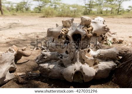 Dead animals bones - stock photo