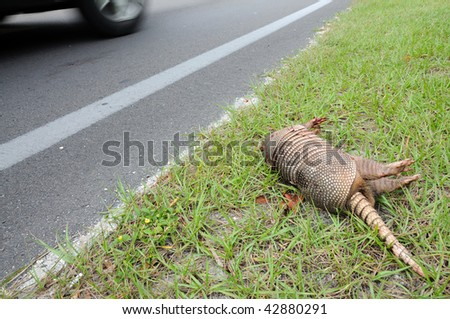 Dead Armadillo at the side of a road in Florida