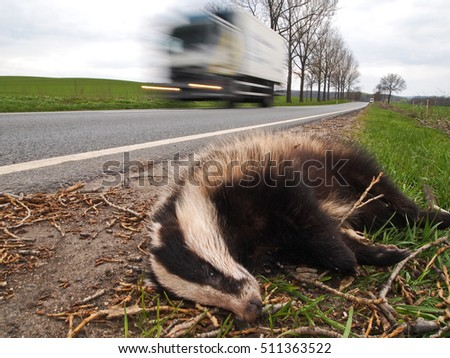 dead badger on road killed by car