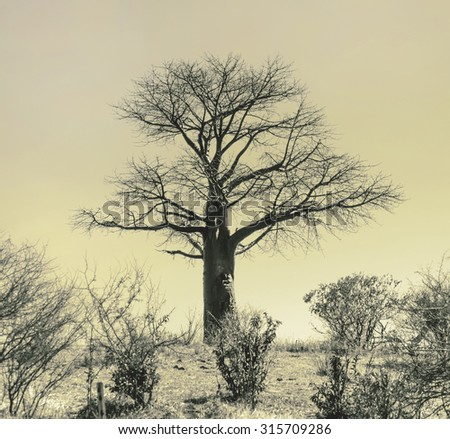 Dead baobab in Chobe National Park - Botswana, South-West Africa (stylized retro) - stock photo