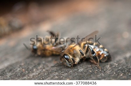 dead bees showing many details of body - stock photo