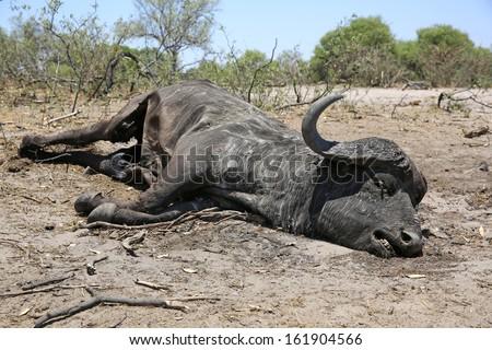 Dead Buffalo at Bwabwata National Park. Namibia - stock photo