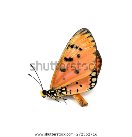 Dead Butterfly isolated on white background - stock photo