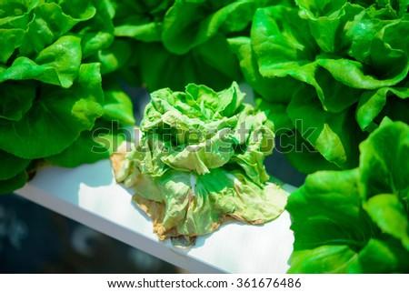 Dead Butterhead Lettuce - stock photo