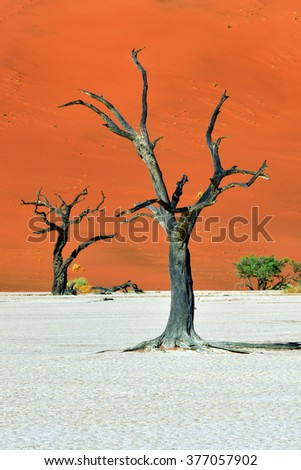 Dead Camelthorn Trees against blue sky in Deadvlei, Sossusvlei. Namib-Naukluft National Park, Namibia, Africa.