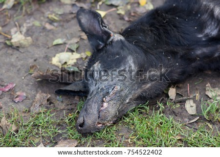 Dead Doglay Black Dog Dead Old Stock Photo 754522402 ...