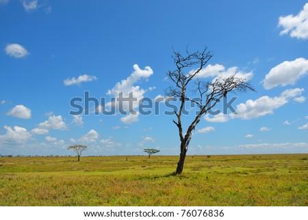 Dead dry tree in the African savannah, Serengeti, Tanzania - stock photo