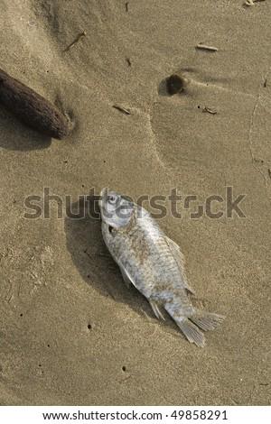 Dead fish lying on the beach. - stock photo