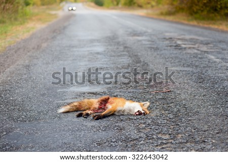 Dead fox killed on the roads. - stock photo
