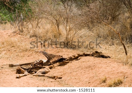 dead giraffe - stock photo