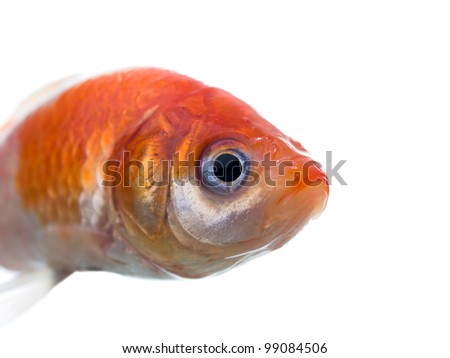 Dead gold fish macro side view isolated on white background - stock photo