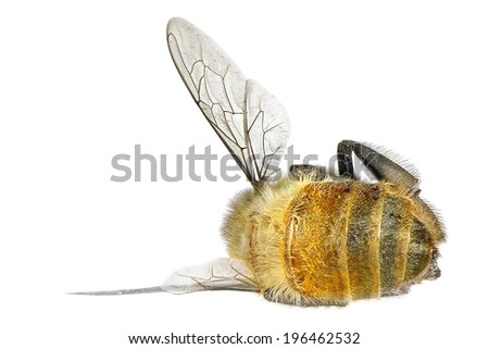 Dead honey bee isolated on the white background  - stock photo