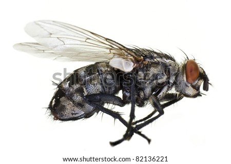 dead horse fly in close up from side on light background