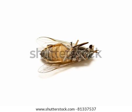 Dead Housefly isolated in White