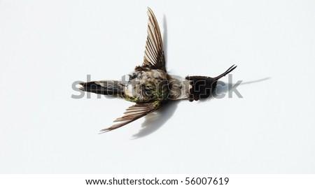 dead hummingbird on white - stock photo