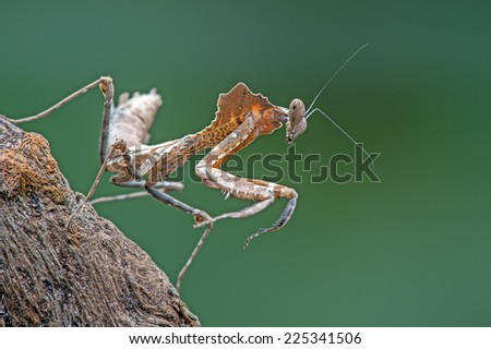 Dead Leaf Praying Mantis against a green background/Praying Mantis/Dead Leaf Praying Mantis (deroplatys dessicata) - stock photo