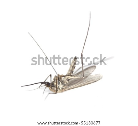 Dead mosquito isolated on white background. Extreme close-up - stock photo