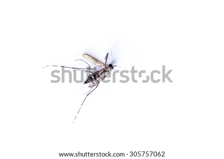 Dead mosquito on white background.