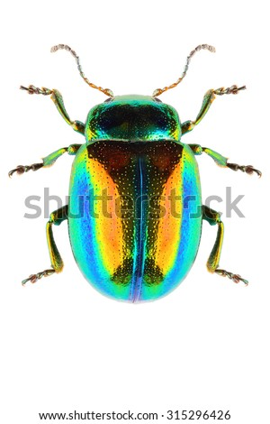 Dead-nettle leaf beetle Chrysolina (Fastuolina) fastuosa isolated on white background, dorsal view - stock photo