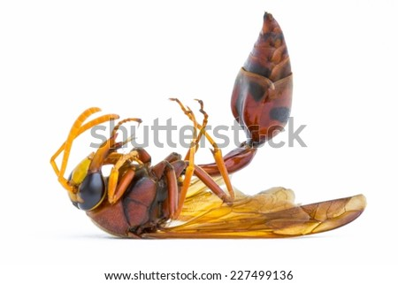 dead Paper Wasp (Polistes metricus) isolated on white background. - stock photo