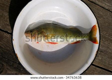 Dead perch in bowl - stock photo