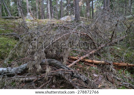 Dead pine branches in wood