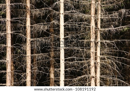 Dead pine forest, twigs and branches without needles - stock photo