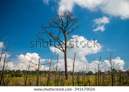 Dead pine from wildfire against blue sky - Phukradung national park in Thailand - stock photo