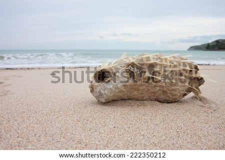 dead porcupine fish also known as puffer fish washed up on a southern hemisphere beach - stock photo