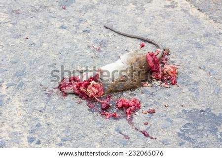 Dead rat on road with blood because of vehicles - stock photo