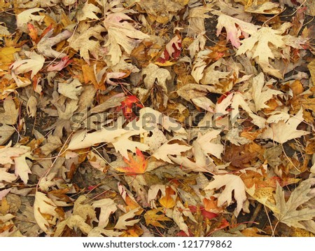 Dead red and yellow maple leaves in autumn - stock photo