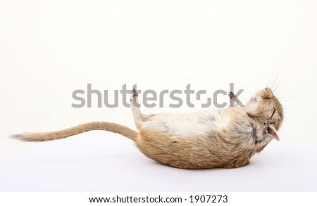 dead rodent, died of natural causes, isolated on white - stock photo