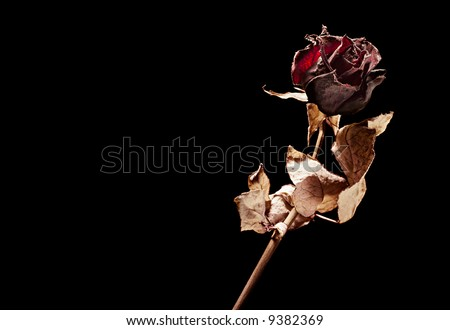 dead rose on black background - stock photo