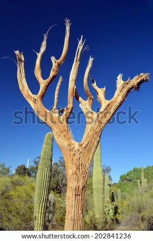 Dead saguaro is an arborescent (tree-like) cactus species in the monotypic genus Carnegiea,. It is native to the Sonoran Desert (Saguaro National Park) in the U.S. state of Arizona - stock photo