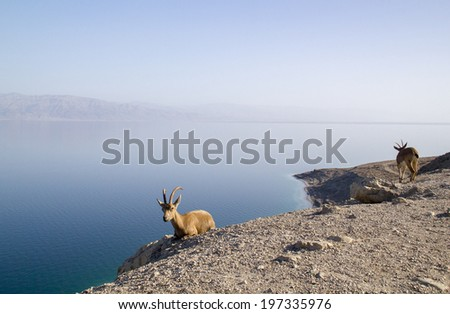 Dead Sea landscape with  Nubian ibex group, Israel - stock photo