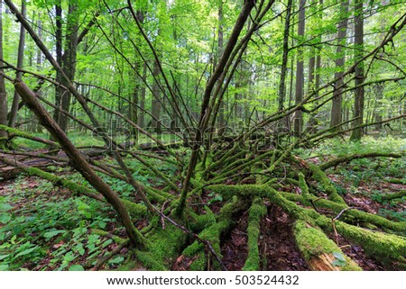Dead spruce lying moss wrapped among deciduous trees in summer,Bialowieza Forest,Poland,Europe