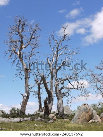 Dead tree and boulders in the valley near Cooma in New south Wales in Australia