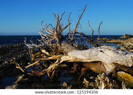 Dead tree, bleached by the sun in the bay at Kaikoura, New Zealand - stock photo
