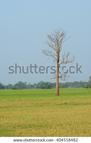 dead tree in rice field - stock photo