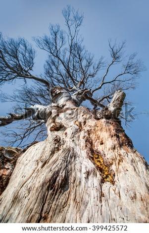 Dead tree isolated - stock photo