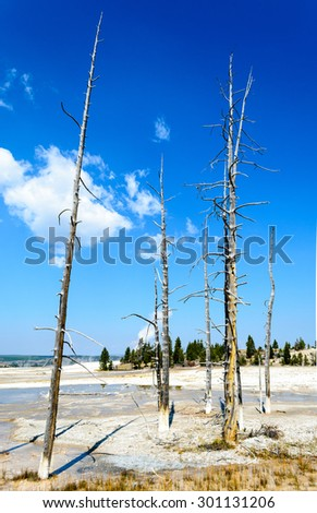 Dead Trees at Yellowstone National Park - stock photo